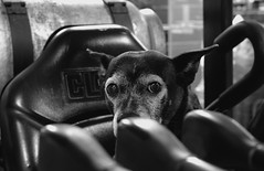 Mazie, at work. 35 (Leica XV) (Mega-Magpie) Tags: leica x vario indoors cute pet puppy dog mazie she female bw black white mono monochrome forklift