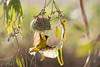 Tisserin gendarme - Ploceus cucullatus - Village weaver (TESS4756) Tags: 2018 andalousie espagne faune faunedespagne oiseaux passériformes plocéides thérèseb tisseringendarme