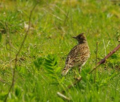 skylark (2) (Simon Dell Photography) Tags: nature spring summer sheffield shirebrook valley s12 wild wildlife animals birds sky lark pipit butterflys simon dell photography