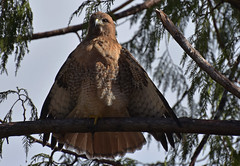 Stretching (Snixy_85) Tags: radarhill tofino redtailedhawk buteojamaicensis