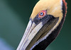 Pelican Portrait (dianne_stankiewicz) Tags: pelican wildlife nature coastal portrait feathers eye texture