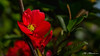 Chaenomeles japonica blooming (Milen Mladenov) Tags: 2018 chaenomelesjaponica cydonia cydoniaoblonga maulesquince blooming blossom bokeh details flora flower floweringquince green light macro nature plant red