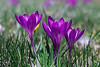 Spring has sprung (mariola aga) Tags: spring lawn grass plants flowers crocuses purple closeup coth alittlebeauty coth5 thegalaxy fantasticnature