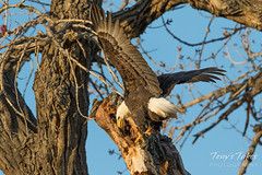 Male Bald Eagle hanging out