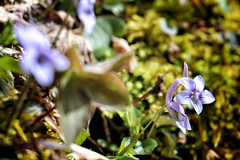 bigsouthfork_3817 (jcbonbon) Tags: april big south fork tennessee park spring violet wildflower purple lavender moss