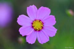 Pretty Purple (edzwa) Tags: chatswood newsouthwales australia au flowers flower purpleflower closeup bokeh bokehlicious macroflower macro canon100mmf28lmacro canon6dmarkii