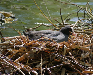Nesting coot