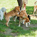 shibainu_meetup_hazelia_01Jun13_019