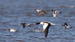 Gemischter Trupp im Abflug vor der kommenden Flut (oliver_hb) Tags: spiesente brandgans austernfischer vogel cuxhaven nordsee