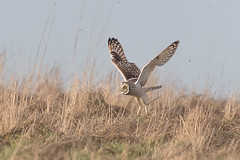 Guess what - another one (PIX SW) Tags: owl shortearedowl seo