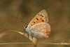 Lycaena phlaeas, le cuivré commun. (chug14) Tags: unlimitedphotos animalia arthropoda hexapoda insecta papillon butterfly lepidoptera lycaenidae lycaeninae bronzé bronzécommun argusbronzé cuivrécommun