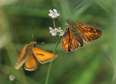 LARGE SKIPPERS (gazza294) Tags: skipper largeskipper butterfly butterflies butterflyconservation wildlife wildlifemagazine wildlifephotography wildlifephotographer flicker flickr flckr flkr flickrexplore gazza294 garymargetts lepidoptera