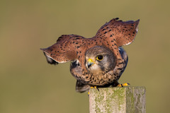 Kestrel (Simon Stobart) Tags: kestrel falco tinnunculus northeast england fence post take off naturethroughthelens coth5 ngc npc