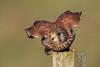 Kestrel (Simon Stobart (Catching Up and Editing)) Tags: kestrel falco tinnunculus northeast england fence post take off naturethroughthelens coth5 ngc npc