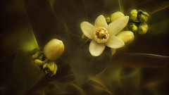 Intoxicating Fragrance (Christina's World-) Tags: flowers plant orange blossoms textures garden fruit buds artistic bright white yellow green nature digitalart dark exotic flower orchard painterly sandiego stilllife tree