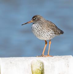 Suffolk Redshank