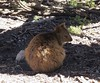 Quokka 2 (tom_2014) Tags: quokka kangaroo marsupial macropod macropodidae mammal animal wild wildlife nature ecology biodiversity species endemic rottnest rottnestisland perth wa westernaustralia australia australian australianwildlife vulnerable threatened cute fur selfie travel setonix brachyurus setonixbrachyurus