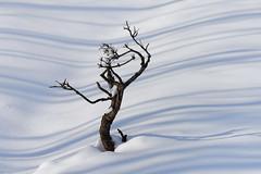 Seul soul (George Pancescu) Tags: nikon d810 70200mm winter snow light shadows white tree nature outdoor