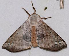 Apatelodid Moth (Apatelodes anna) (berniedup) Tags: belizon roura guyane apatelodidae apatelodesanna taxonomy:binomial=apatelodesanna