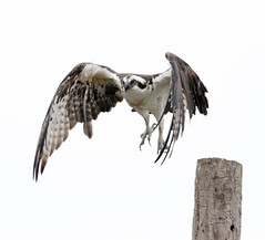 2018 Birds of the Mississippi River Delta (12) (maskirovka77) Tags: saintbernard louisiana unitedstates us river delta bird osprey fisheagle baldeagle shrike pelican egret