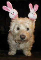 4/12A ~ Happy Easter from Riley! (ellenc995) Tags: riley westie westhighlandwhiteterrier 12monthsfordogs18 easter bunnyears coth thesunshinegroup alittlebeauty fantasticnature coth5 yearofholidays thegalaxy supershot 100commentgroup