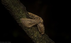 Anaxidia lozogramma (dustaway) Tags: arthropoda insecta limacodidae anaxidialozogramma australianmoths australianinsects rprr rotarypark rainforest lismore nature northernrivers nsw australia rotary park reserve rotaryparkrainforestreserve
