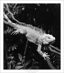 Bearded Dragon (eetuaspl) Tags: reptile beardeddragon lizzard fujineopanacros100 rolleicordvb id11 ilfordmultigraderc darkroom silvergelatineprint 13 mediumformat film analog