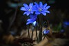 Przylaszczka pospolita (Hepatica nobilis Mill.) (bialobrody) Tags: flora flower wildflower blue macro