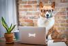 Work Like a Dog 97/365 (stevemolder) Tags: dog 365 april corgi welsh pembroke working work computer laptop bone coffee westcott softbox strobist