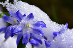 What a Difference a Day Makes (thatSandygirl) Tags: snow flowers frozen ice spring april aprilsnow springsnow blossom bloom floral drooping damaged blue white snowy frost frosty