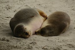 mummy (moniq84) Tags: kangaroo island seal bay mummy mother son animals nature wildlife beach australia south world travel honeymoon animal bokeh sleep sleeping peace relax sealions