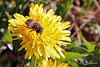 Getting to Work (Kasrielle) Tags: flowerfly flowers spring nature yellow pollinate notabee bc canada