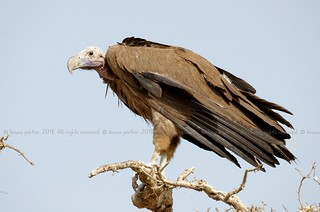 Lappet-faced Vulture, Vautour oricou (Torgos tracheliotos) - Zakouma National Park, CHAD