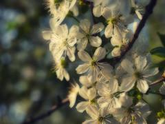 Garden blossoms (PHOTOGRAPHY Toporowski) Tags: natur flower aussehen glühen garten spring glow sunrise frühling garden bokeh makro blossom blüten schön schönheit macro blumen sonnenaufgang nature schärfentiefe eschweiler nrwnordrheinwestfalen deutschland deu