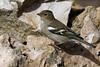 Pinson des arbres (femelle) - Fringilla coelebs - Common Chaffinch (Alain-46) Tags: pinsondesarbres fringillacoelebs commonchaffinch passériformes fringillidés
