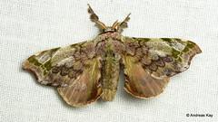 Silkworm Moth, Quentalia sp., Apatelodidae (Ecuador Megadiverso) Tags: amazon andreaskay apatelodidae bombycidae ecuador moth rainforest silkwormmoth tamanduareservaflores quentalia