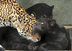jaguar artis BB2A2521 (j.a.kok) Tags: jaguar pantheraonca kat cat rica neron mammal artis animal zuidamerika southamerica zoogdier dier jaguarcub jaguarwelp zwartejaguar blackjaguar
