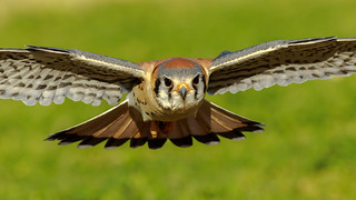 In Your Face American Kestrel