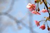 Early cherry blossoms in Shukkeien garden,Hiroshima city 2018/03 No.1. (HIDE@Verdad) Tags: pentaxistds lzosindustar61lzmc50mmf28 industar61 industar pentax istds