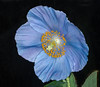 Himalayan Blue Poppy (tresed47) Tags: 2018 201803mar 20180314longwoodflowers canon7d chestercounty content flowers folder longwoodgardens macro march pennsylvania peterscamera petersphotos places poppy ringflash season takenby technical us winter