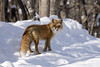Red Fox (peterspencer49) Tags: peterspencer peterspencer49 fox redfox winter winterview snow
