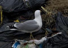 Hybride Yellow-legged gull x Herring gull / Larus michahellis x Larus argentatus / Geelpootmeeuw x Zilvermeeuw ad (Herman Bouman) Tags: hybride yellowleggedgull x herringgull larusmichahellis larusargentatus geelpootmeeuw zilvermeeuw ad