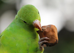Periquito-rico (Degu SASF) Tags: brasilia brasília brasil brazil aves pássaro birds bird birdwatching observação psittacidae psittaciformes