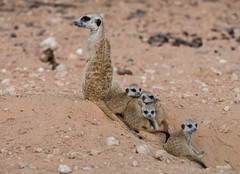 Cuddling with the siblings (jaffles) Tags: southafrica südafrika kalahari kgalagaditransfrontierpark ktp olympus safai natur nature wildlife suricate youngsters siblings
