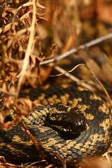 Sunday Morning Adder (Derbyshire Harrier) Tags: adder 2018 spring derbyshire reptile snake viper easternmoors peakpark viperaberus rspb nationaltrust peakdistrict bracken britishnativesnake britishnativereptile moorland