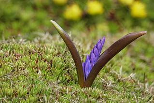 Ein Zweiblättriger Blaustern (Scilla bifolia) entfaltet seine Blüte