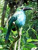 Tucaneta esmeralda (ntnlsk) Tags: animal portrait méxico animalportrait green aviario tucaneta selva rainforest bird blue