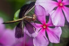 Dark Wings, Pink Flower - _TNY_4010 (Calle Söderberg) Tags: macro canon canon5dmkii canonef100mmf28usmmacro canoneos5dmarkii raynox dcr250 flash meike mk300 glassdiffusor vietnam phuquoc mercuryphuquocresortvillas insect odonata dragonfly neurothemis tullia skimmer piedpaddyskimmer pink magenta flower compoundeyes darkwings stripe anispotera libellulidae parasol piedparasol f19 ngc npc platinumheartaward 5d2