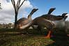RenatoSoares_Parque Barigui_Gansos_Curitiba PR (MTur Destinos) Tags: curitiba pr paraná brasil br parquebarigui queroquero pinhas pinheiros lazer diversão família gansos mturdestinos