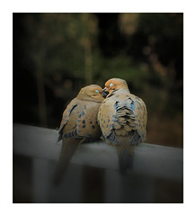 True Love (LupaImages) Tags: doves love birds feathers affection tender imtimate mating wings soft animal wildlife nature spring babies